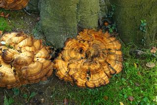 Riesenporling; Meripilus giganteus; giant polypore;