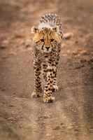 Cheetah cub walks down track towards camera