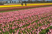 Anbau von Tulpen in der Blumenzwiebelregion Bollenstreek, Noordwijkerhout, Niederlande