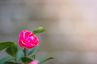 Small fragile pink rose