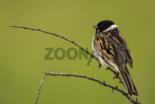 Reed Bunting on a twig