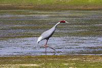 Sarus crane, Grus antigone. Bera, Rajasthan, India