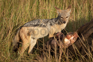 Black-backed jackal stands by carcase eyeing camera