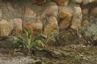 Mauerwerk und Pflanze