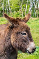 Portrait with head of donkey in meadow