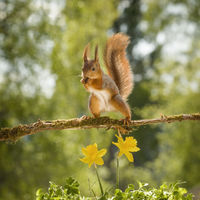 red squirrel on a branch with narcissus