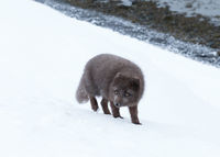 Blue morph arctic fox standing in snow