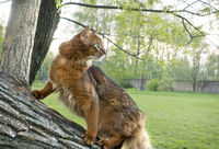fluffy red cat with green eyes (breed Somali)  on an inclined tree trunk in a park