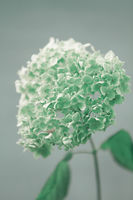close up of a blooming hydrangea flower