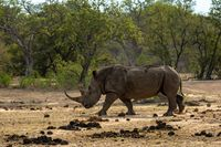 White rhino on the savannah