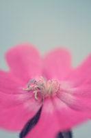pink flower close up