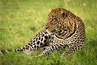 Male leopard lies in grass staring left
