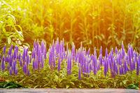 Beautiful purple flowers bloom in garden under sunlight