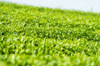 verdant tea plantation closeup