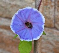 Trichterwinde; Dreifarbige Prunkwinde; Ipomoea purpurea