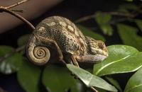 Junges Panter-Chamäleon (Calumma parsonii), Madagaskar