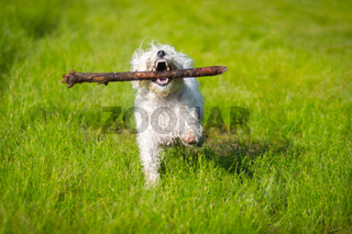 Small dog with stick