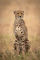 Cheetah sitting in long grass looking ahead