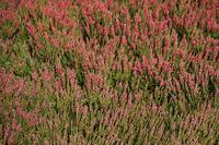 filed of heather heath heathland background