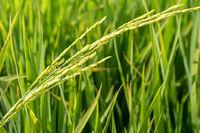 Paddy rice plant