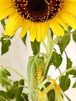 sunflower losing its pollen