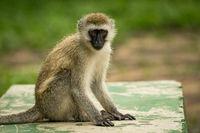 Vervet monkey sits on wall facing camera