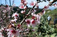 Mandelbaum (Prunus dulcis) - Mandelblüte