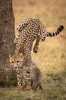 Cheetah jumps down from tree beside cub