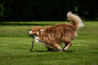 A mini Australian Shepherd plays outside with his leash