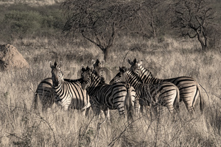 Small herd of zebras at the erongo mountains in Namibia