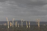 Nakuru lake with dry trees, Kenya, Africa.