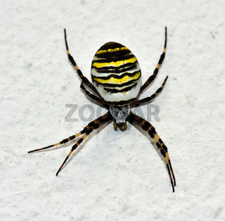 Wespenspinne an weißer Hauswand, Argiope bruennichi,