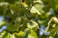Gemeine Hasel (Corylus avellana), Haselnussstrauch
