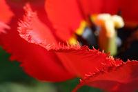 Tulpe - Nahaufnahme