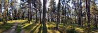 Landscape from a Coniferous Pine Forest