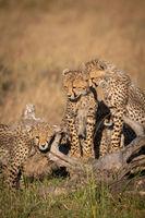 Cheetah cubs watch another rub against log