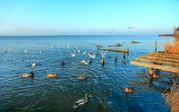 Gulls fly over the Steinhuder Meer or Lake Steinhude, Lower Saxony, Germany, northwest of Hanover.