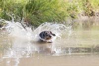 Rauhaardackel im Teich