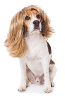 Adult beagle dog with wig isolated on white background