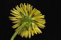 Gewoehnlicher Loewenzahn (Taraxacum officinale)