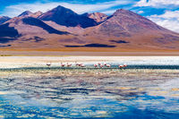 View of James s Flamingos at the Canapa Lake in Andean Plateau