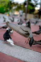 Dirty Pigeons aka Rats of the sky battle for scraps on the pavement.