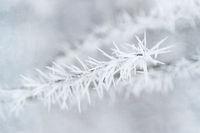 Eiskristalle an einem Zweig nach einer Nacht mit starkem Raureif