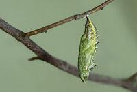 Raupe des Kleinen Fuchses (Aglais urticae)