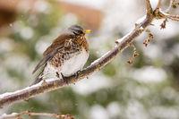 Fieldfare bird sitting on a tree