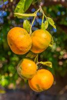 Four orange tangerines hanging at tree