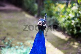 Pfauenhahn mit blauem Gefieder