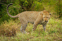 Leopard stands snarling with head held low