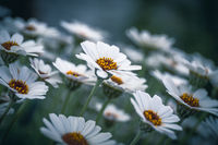 Ox Eye daisy, name of these flowers is Swamp chrysanthemum.Scientific name is Leucanthemum paludosum.