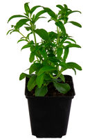 Isolated potted candyleaf herb plant